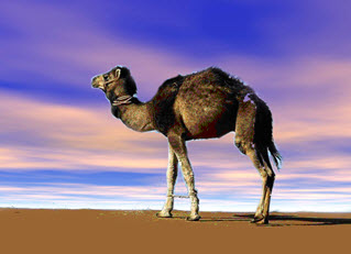 The Arabian Camel has one hump