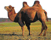 The Bactrian Camel has two humps