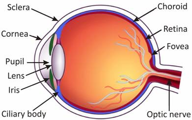 Cbse class 8 physics light worksheets explain the structure and working of human eye ccuart Images
