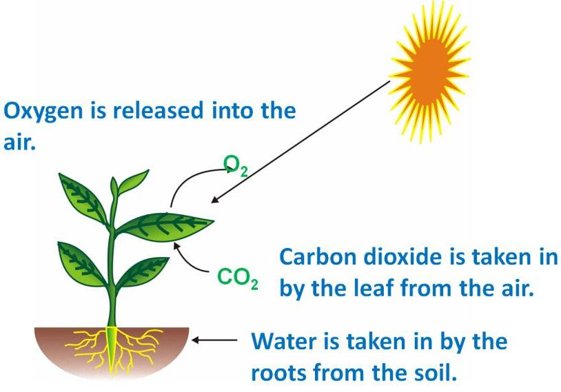 Revision Notes For Science Nutrition In Plants