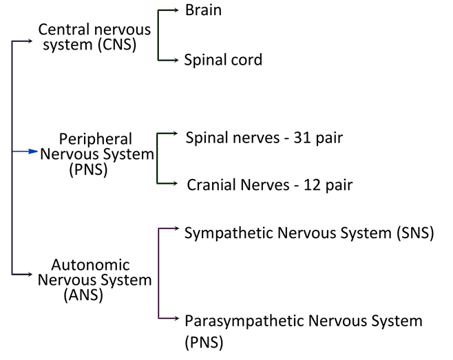 parts of nervous system